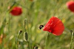 Mohnblumenblume und -hummel auf einem unscharfen Hintergrund Lizenzfreies Stockfoto
