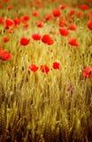 Mohnblumenblumen Stockfotos