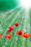 Mohnblumenblumen Stockfotografie