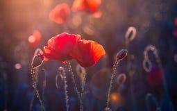 Mohnblumenblumen Lizenzfreies Stockbild