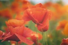 Mohnblumenblumen auf einem Sommergebiet lizenzfreie stockfotos