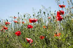 Mohnblumenblumen in der Sonne Lizenzfreie Stockfotografie