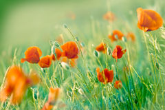 Mohnblumenblumen in der Wiese Lizenzfreies Stockfoto