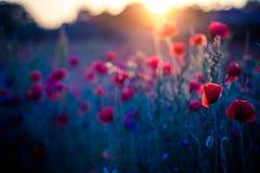 Mohnblumenblumen im Sonnenuntergang, goldener Hintergrund Stockbild