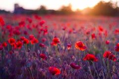 Mohnblumenblumen im Sonnenuntergang, goldener Hintergrund lizenzfreie stockfotos