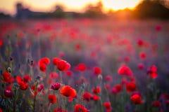 Mohnblumenblumen im Sonnenuntergang, goldener Hintergrund Stockfotografie