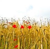 Mohnblumenblumen mit blauem Himmel und Wolken Lizenzfreies Stockfoto