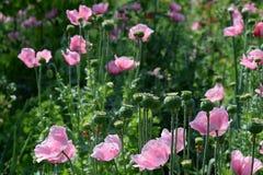 Mohnblumenblumen und -büsche Stockbild