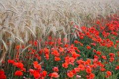 Mohnblumenblumen und -weizen Lizenzfreie Stockfotografie