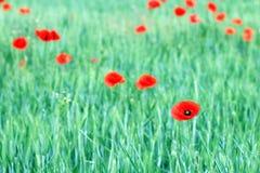 Mohnblumenblumen-Wiesenfrühlings-saison Lizenzfreie Stockbilder