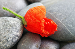 Mohnblumenblumenblatt stockfotos
