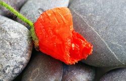 Mohnblumenblumenblatt stockfoto