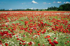 Mohnblumenblumenfeld am sonnigen Sommertag Stockfotos
