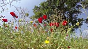 Mohnblumenblumenfelder eingestellt in einen Hintergrund des blauen Himmels in einem prachtvollen spanischen Himmelsonnenlicht stock video footage