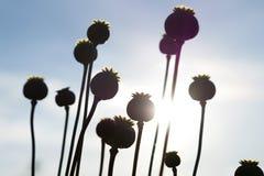 Mohnblumenblumenkapsel Langer trockener Stiel des Mohns wartend Stockbild