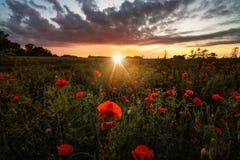 Mohnblumenfeld bei Sonnenuntergang Stockfotografie