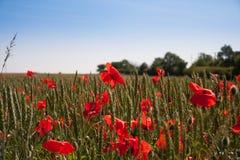 Mohnblumenfeld an einem Sommertag lizenzfreie stockfotos
