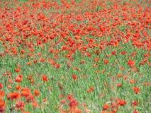 Mohnblumenfeld im Sommer Stockbilder