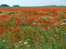 Mohnblumenfeld im Sommer Stockfoto