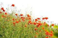 Mohnblumenfeld im Sommer mit Wildflowers und Himmel stockfotografie