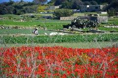 Mohnblumenfeld und -ernten während des Frühlinges, Malta Stockfotos