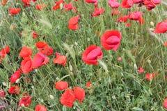Mohnblumenfeld und grünes Gras stockbild