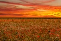 Mohnblumenfeldblume auf Sonnenuntergang lizenzfreies stockfoto