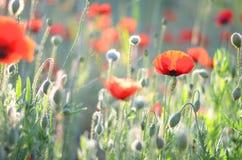 Mohnblumenfeldhintergrund Sommerwiese mit roten Mohnblumen Feld des gr?nen Grases gegen einen blauen Himmel mit wispy wei?en Wolk lizenzfreie stockfotos