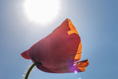 Mohnblumenknospe auf dem Hintergrund des blauen Himmels Stockfotografie
