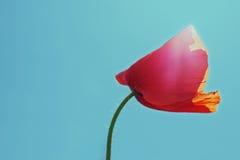 Mohnblumenknospe auf dem Hintergrund des blauen Himmels Stockbild