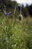 Mohnblumenknospe, die in der Gefangenschaft schmachtet Stockfotos