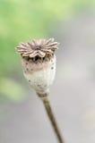 Mohnblumenkopf Stockbild