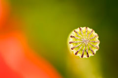 Mohnblumenkopf mit einem roten Blumenblatt herum blühend Lizenzfreie Stockfotografie