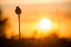 Mohnblumenkopf und -untergehende Sonne Stockfotos