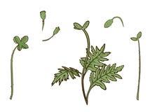Mohnblumenteile eingestellt Vektor lokalisierte Blätter und Stämme Botanische mit Blumenillustration für Designdekor oder Urlaubs Lizenzfreie Stockfotos