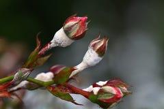 Moho en rosas. Foto de archivo