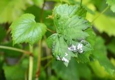 Moho polvoriento de la uva Enfermedades de la vid El vitikola de Plasmopara del moho suave es una enfermedad fungicida Foto de archivo libre de regalías