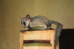 Mohol bushbaby. The adult mohol bushbaby sitting on the wood desk Royalty Free Stock Photos