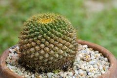 Mohos de la planta en el cactus imagenes de archivo