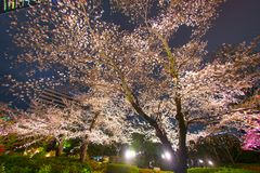 Mohri Garden of going to see cherry blossoms at night Roppongi. Shooting location :  Tokyo metropolitan area stock photos