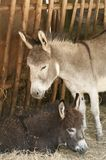 Mohter donkey with baby Stock Images