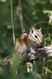 Moindre Chipmunk, minimus de Tamias Images stock