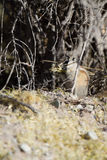 Moindre Chipmunk, minimus de Tamias photos stock