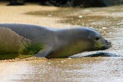 Moine Seal de Hawaiin Photographie stock libre de droits