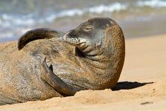 Moine Seal sur la plage, Kauai, Hawaï Photographie stock