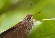 Moine Skipper Butterfly Close  Photo libre de droits