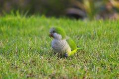 Moine vert Parakeet, monachus de perroquet de Myiopsitta sur l'herbe verte images stock