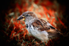 Moineau Photo stock