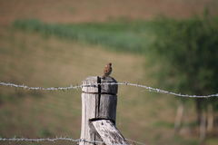 Moineau Photographie stock