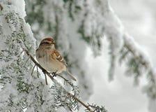 Moineau d'arbre dans la tempête de neige Images stock